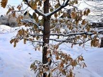 Dąb gałąź z pomarańcze liść zakrywającym śniegiem zdjęcia stock