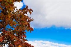 Dąb opuszcza przeciw błękitowi, jesieni niebo Obrazy Stock