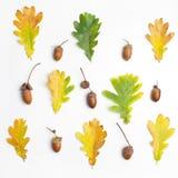 Dąb rozgałęzia się z liśćmi i acorns na białym tle Mieszkanie nieatutowy, odgórny widok Zdjęcie Stock