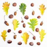 Dąb rozgałęzia się z liśćmi i acorns na białym tle Mieszkanie nieatutowy, odgórny widok Zdjęcia Royalty Free
