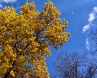 Dąb z kolorów żółtych liśćmi przeciw niebieskiemu niebu Zdjęcia Stock