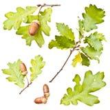 Dębów acorns liść i zdjęcia stock