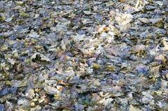 Dębów liście w lesie Zdjęcia Stock