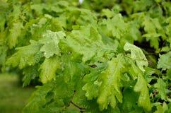 Dębów liście z raindrops Obrazy Stock