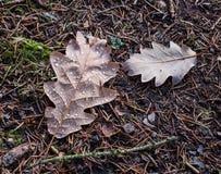 Dębów liście z wodnymi kroplami Zdjęcie Royalty Free