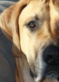 Dębny Great Dane psa zakończenie Up Fotografia Royalty Free