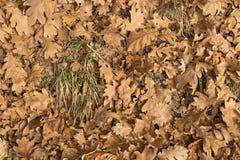 Dębowa lasowa ściółka Obraz Royalty Free