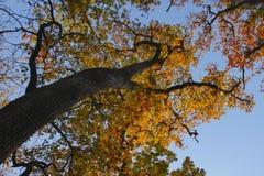 Dębowego drzewa bellow szeroki strzał w jesieni Obraz Stock
