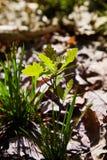 Dębowego drzewa flanca z zielenią opuszcza na glebowym tle wśród rożka światła słonecznego fotografia royalty free