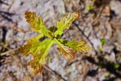 Dębowego drzewa flanca z zielenią opuszcza na glebowym tle wśród rożka światła słonecznego fotografia stock