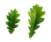 Dębowego drzewa liście Zdjęcia Stock