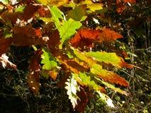 Dębowego drzewa liście w jesieni fotografia stock