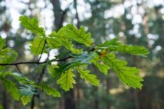 Dębowego drzewa liście w zmierzchu obraz royalty free