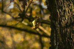 Dębowego drzewa odizolowywający urlop w jesieni Obrazy Royalty Free