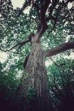 Dębowego drzewa zieleń fotografia stock