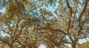 Dębowej alei plantaci panoramiczny widok, Luizjana obraz royalty free