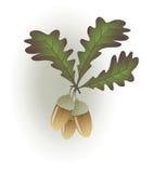 dębowi acorns liść Zdjęcie Stock