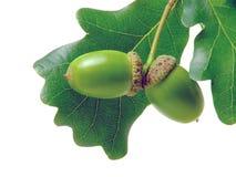 dębowi acorns liść Obrazy Royalty Free
