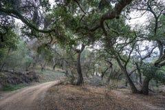 Dębowi drzewa Cierpi suszę Obrazy Royalty Free