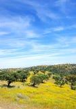 Dębowi drzewa w śródziemnomorskim lesie Zdjęcie Stock