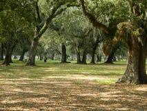 Dębowi drzewa w aprk położeniu Zdjęcie Royalty Free