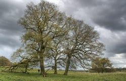 Dębowi drzewa w wiośnie Zdjęcia Royalty Free