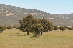 Dębowi holms, ostrokrzew w śródziemnomorskim lasowym Cabaneros parku, Hiszpania Zdjęcia Stock