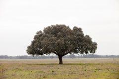 Dębowi holms, ostrokrzew w śródziemnomorskim lesie Zdjęcie Royalty Free