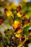Dębowi liście w jesieni świetle Obrazy Royalty Free