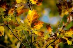 Dębowi liście w jesieni świetle Fotografia Royalty Free