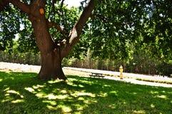 Dębowy Drzewny baldachim zdjęcia stock