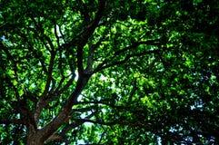 Dębowy Drzewny baldachim obraz royalty free