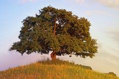 dębowy drzewo zdjęcia stock