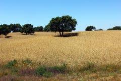 Dębowy drzewo, Alentejo, Portugalia Zdjęcia Stock