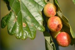 Dębowy drzewo w jesieni z dębu galasem Obraz Royalty Free
