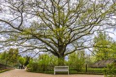 Dębowy drzewo w nieruchomości Pushkin, Pskov region, Rosja Zdjęcie Royalty Free