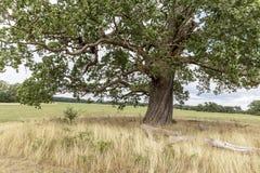Dębowy drzewo w parkland fotografia stock