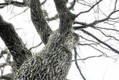 Dębowy drzewo w zimie (Quercus) Zdjęcia Royalty Free