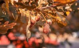 Dębowy drzewo z Dojrzałymi Acorns zdjęcia stock