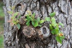 Dębowy drzewo z jemiołą obrazy royalty free