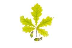 Dębowy liść i acorn odizolowywający na białym tle Zdjęcia Royalty Free