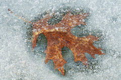 Dębowy liść Obramowany w lodzie fotografia royalty free