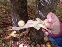 Dębowy liść w ręce chłopiec Fotografia Stock