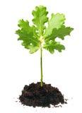 dębowy mały drzewo Zdjęcia Stock