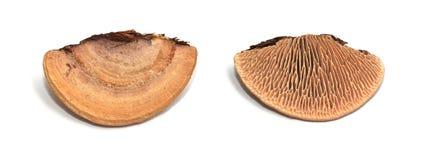 Dębowy mazegill grzyb zdjęcie stock