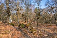 Dębu drzewo w lesie z spadać drzewem obraz stock