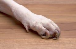 Dłudzy gwoździa psa cieki Obrazy Royalty Free