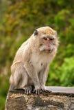 Dłudzy ogoniaści makaki Zdjęcia Royalty Free
