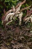 dłudzy puszyści biali kwiaty z ciemnym brązem opuszczają zdjęcia royalty free
