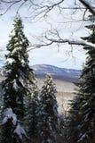 Długa jodła w lesie Fotografia Stock